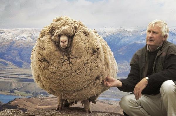 Dit is Shrek het schaap.